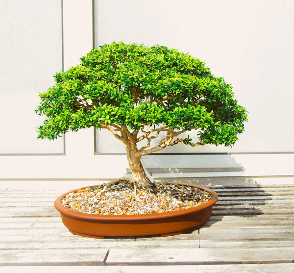 Cultivating Bonsai Tree Health Benefits